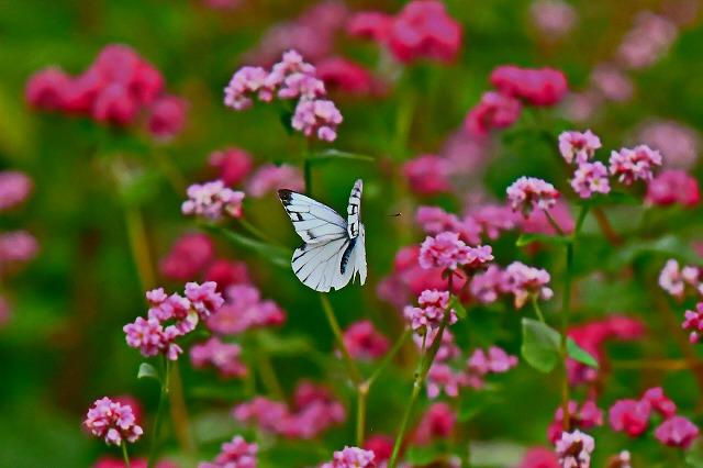 蕎麦の花にスジグロ蝶