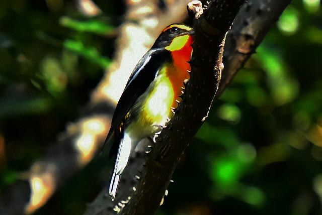カラスサンショウにやって来る小鳥 キビタキ