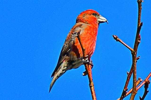 赤い鳥 イスカ