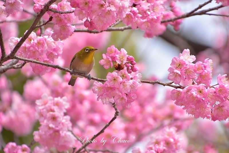 私と小鳥と桜と…なんてね^^