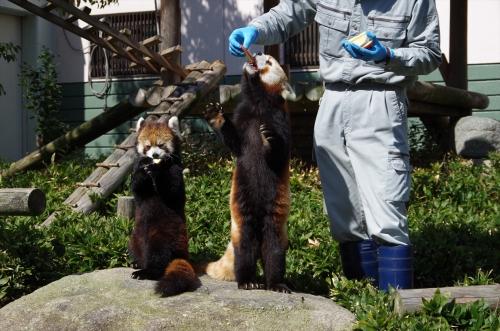#レッサーパンダ #福岡市動物園 #マリモちゃん #redpanda #ノゾム君