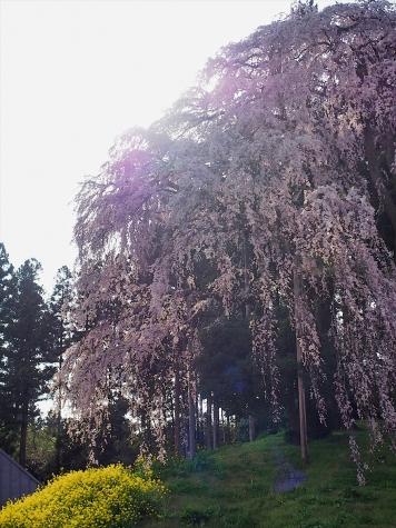 合戦場のしだれ桜【福島県二本松市】