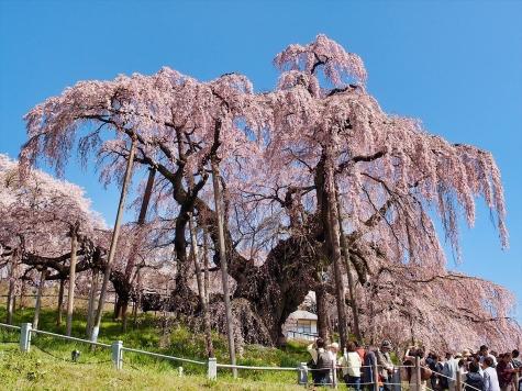 三春の滝桜【福島県三春町】