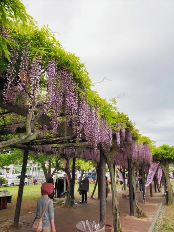 渋川公園の藤棚【岡山県玉野市】