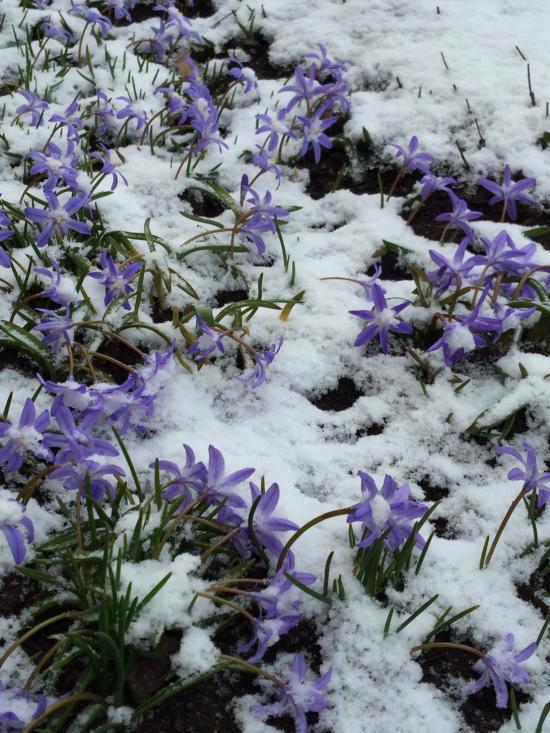 雪中のチヨノトクサ2021