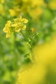 写真 菜の花