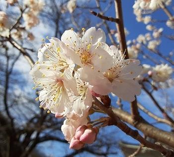 桜桃のはな