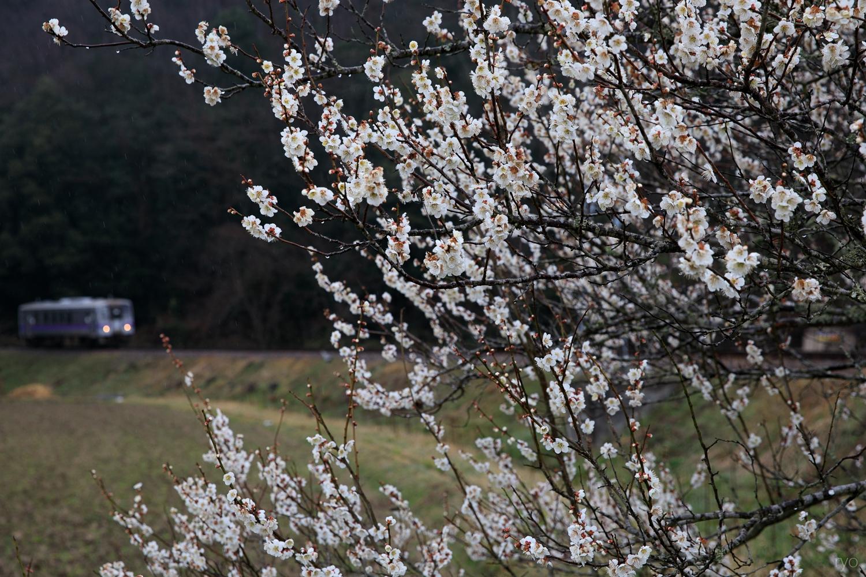 梅の花咲く頃に_1