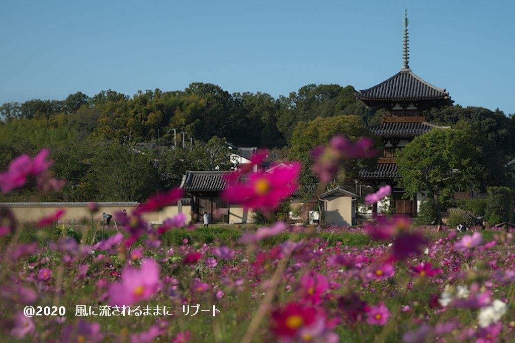 奈良・法起寺 コスモス(2020年11月撮影)5