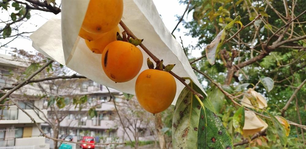禅寺丸柿 (1000x486)