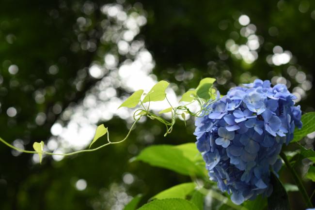 紫陽花2020