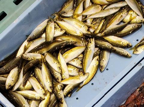 なぜか漁吉丸のアジは黄金のアジ