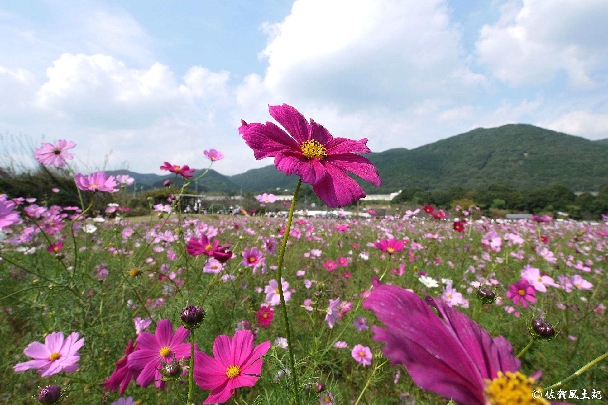金立公園コスモス:P1020101