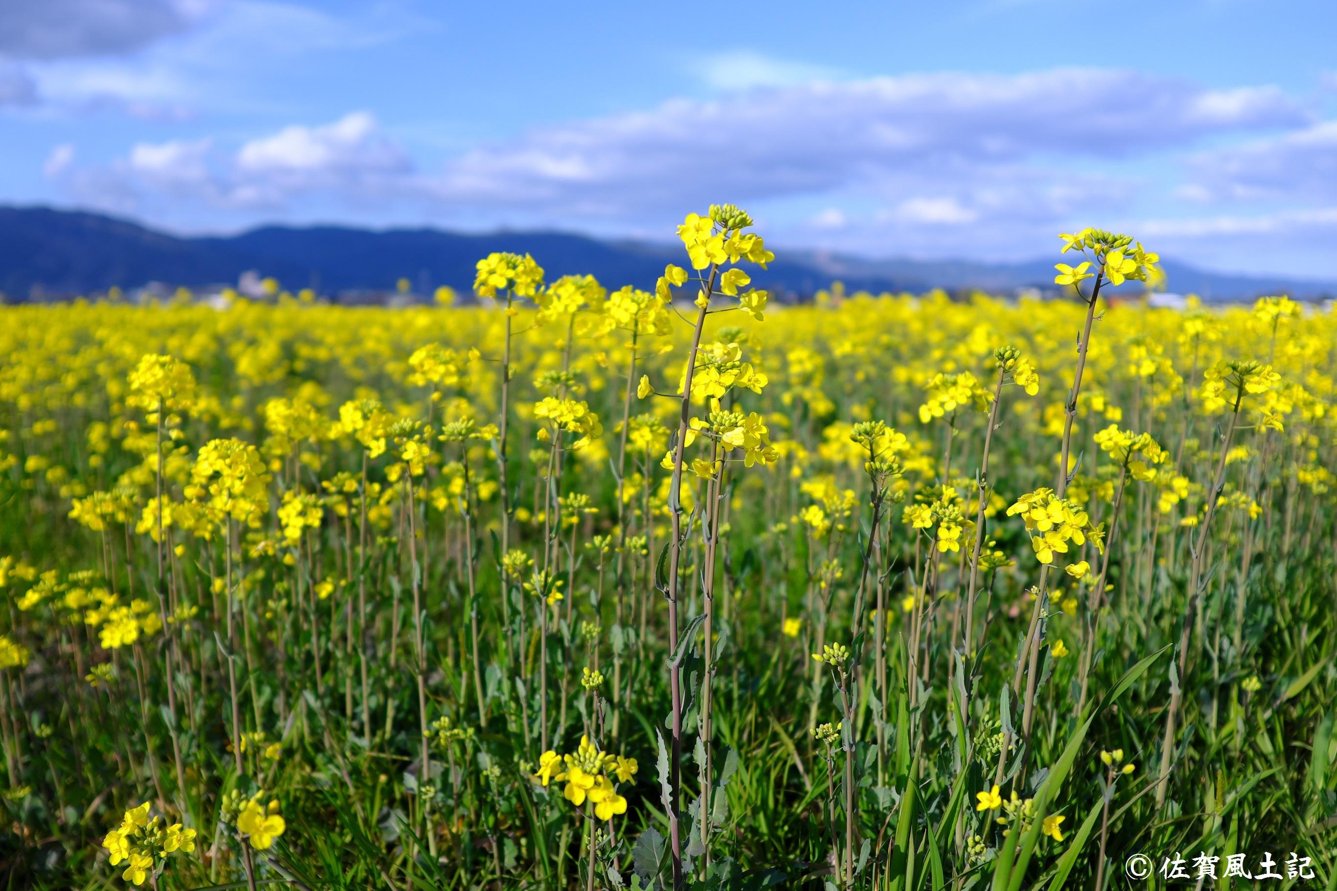 金立菜の花:DSCF0402