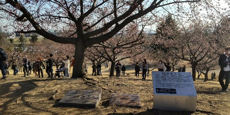 いせさき市民のもり公園河津桜20210228
