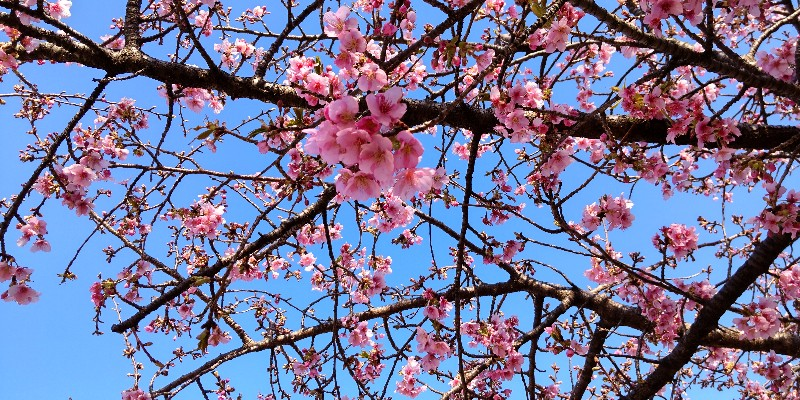 いせさき市民のもり公園河津桜アップ20210228