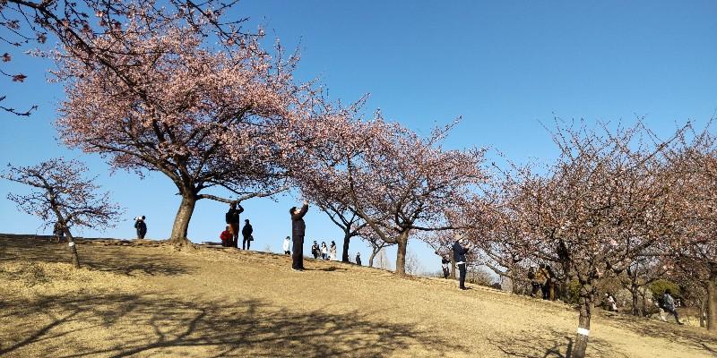 いせさき市民のもり公園傾斜に咲く河津桜20210228
