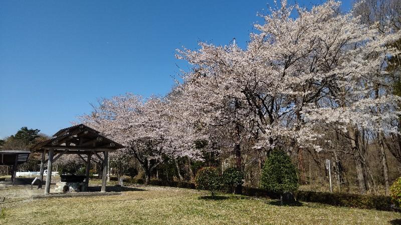 戸田水辺公園道路沿いに桜202104