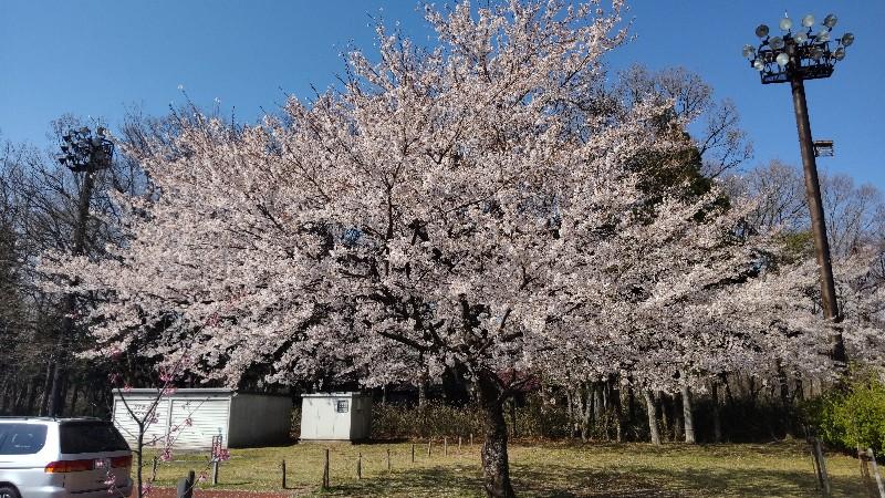 道の駅那須高原友愛の森駐車場の桜202104