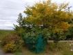 黄葉したエノキ
