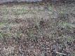タマネギの苗