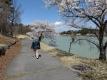 明神池のサクラ