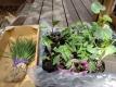 野菜の苗を
