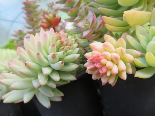 セデべリア・樹氷に花芽♪2021.02.24