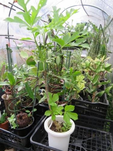 クッソニア・パニキュラータ(Cussonia paniculata)南アフリカ、ヨハネスブルク辺り、耐寒性有、耐干性もある、ずんぐり塊根植物2020.07.01