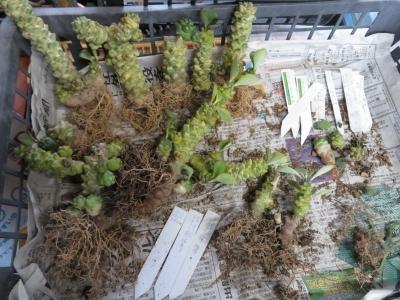 モナデニウム・リチェイ錦(黄色斑入り)2017年胴切り挿し木した苗、根土を崩すとこんな塊根姿2020.07.03