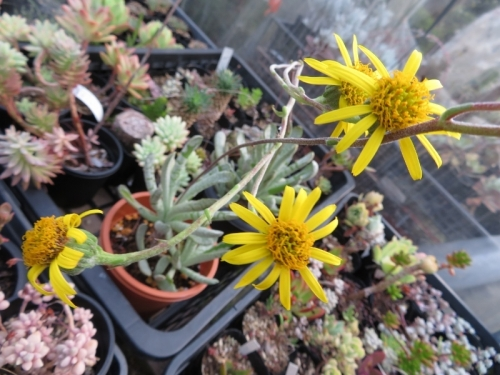 セネシオ・新月(Senecio scaposus)開花中♪2020.07.05