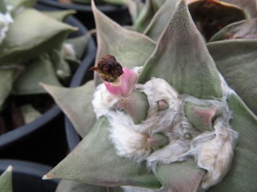 アリオカルプス・岩牡丹系、玉牡丹系亀甲牡丹系交雑種(Ariocarpus retusus ssp)昨年開花した跡に種鞘ができました。2020.07.08