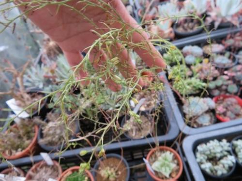 ブルビネ・メセンブリアンテモイデス、玉翡翠(たまひすい)(Bulbine mesembryanthoides)まだ蕾を持ち開花しています。2020.07.09