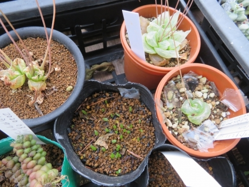 ブルビネ・メセンブリアンテモイデス、玉翡翠(たまひすい)(Bulbine mesembryanthoides)こぼれ種発芽しました!2020.07.09