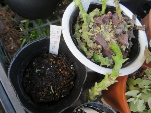 セロペギア・シモネアエ(Ceropegia simoneae)昨年秋にできた種鞘が弾けたので2020.06.26)種蒔きしておきました。発芽しています。2020.07.10