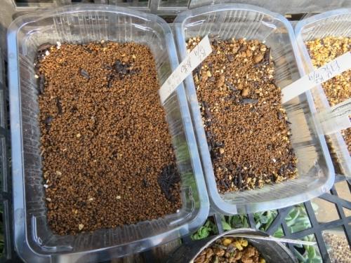 アリオカルプス交雑種、自家採取種子、赤花、白花実生2020.07.10
