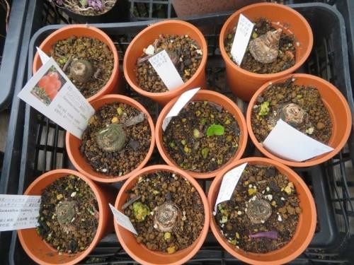 スカドクサス・ムルチフロス(赤花夏型球根)昨年はうまく咲きましたが今年はダメです。2020.07.09