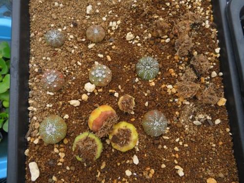 アストロフィツム・兜丸(Astriphytum asterias cv.)上手く育ちません。2020.07.13
