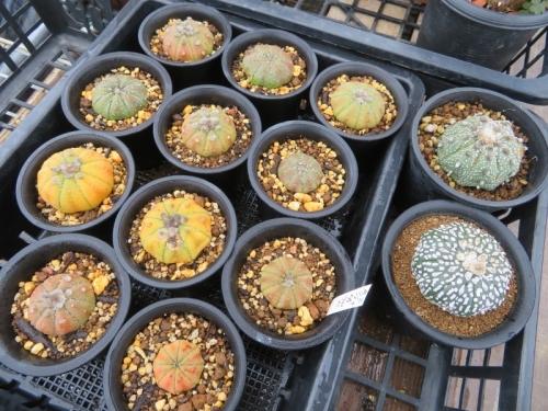 アストロフィツム・兜丸(Astriphytum asterias cv.)植え替えしました。2020.07.13