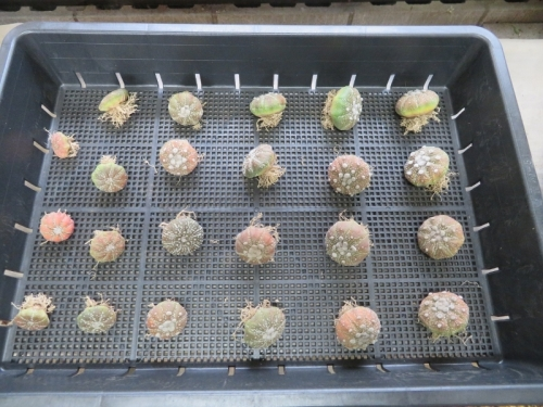 アストロフィツム・兜丸(Astriphytum asterias cv.)2020.02.27に植え替えしました。この時はまだ大丈夫。