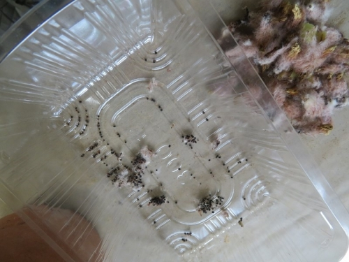 ノトカクタス・青王丸(Notocactus ottonis)自家受粉で一つの株から別花花粉付けで種子がたくさん採れました。2020.07.14