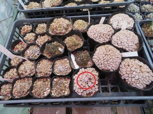 コノフィツム・エクティプム(Conophytum ectypum )ピンク花右、左、フィシフォルメ、中央黒カビ生え、清姫(ToT)2020.07.15