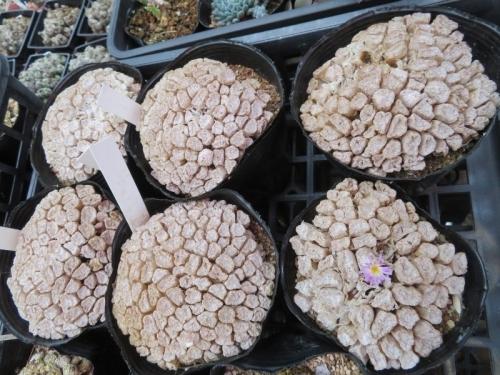 コノフィツム・エクティプム(Conophytum ectypum )ピンク花、1輪だけ、狂い咲いています。(ToT)2020.07.15