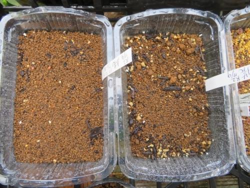 アリオカルプス交配種、牡丹類2020.07.10実生しました。もう、発芽始まっています。白花はまだ。2020.07.16