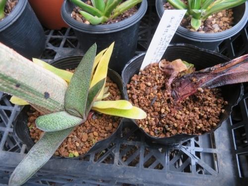 ガステリア・春鶯囀錦(Gasteria bateshiana f. variegata)葉挿し苗、右全斑入りは枯れてしまいました。2020.07.18