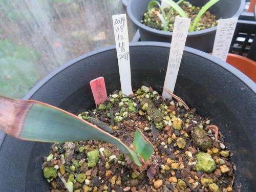 ウェルウィッチア・ミラビリス、奇想天外、砂漠万年草(Welwitschia mirabilis)2020.07.20