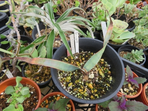 ウェルウィッチア・ミラビリス、奇想天外、砂漠万年草(Welwitschia mirabilis)2019.10.20