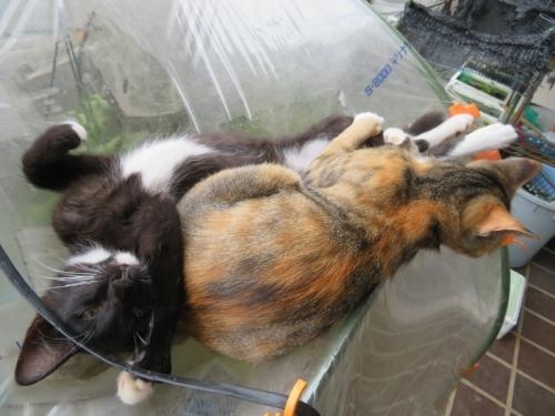 野良猫ちゃんらは、ビニールハウスのたわみがハンモック♪2020.07.23