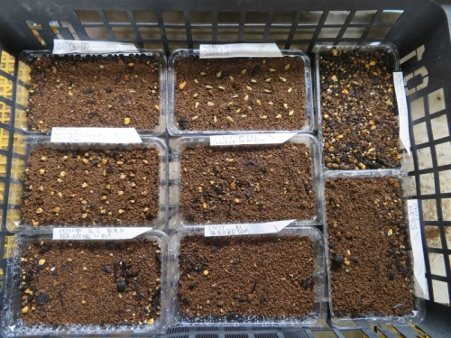 テフロカクタス2品、フォッケア、エキノケレウス自家採取種子、エケベリア自家採取種子、その他種蒔きしました。2020.07.27