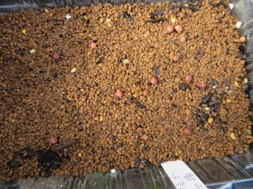アリオカルプス実生2020.07.10、赤花種子の方が発芽が多く早いです。2020.07.30